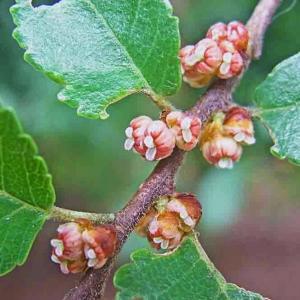 アキニレとヌルデの樹(9月が忙しい樹木2種)