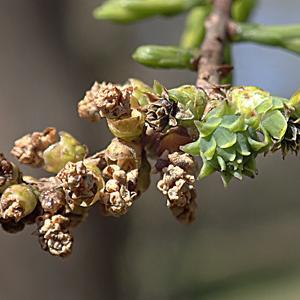 コノテガシワとラクウショウの花と球果