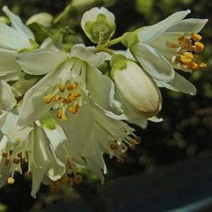 ウツギとカリンの花 と「たね」の関係-1