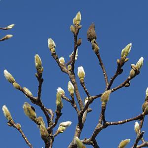 ハクモクレンの冬芽
