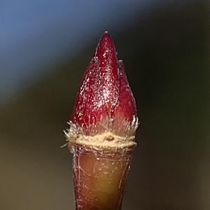イロハモミジの冬芽と「たね」