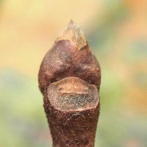 カキノキの冬芽