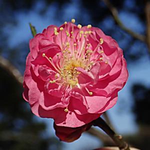 八重寒紅の花
