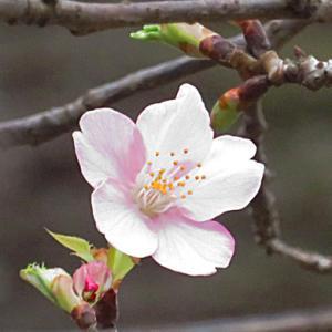 カワヅザクラ大寒に咲く