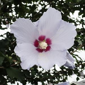 ムクゲの花-1