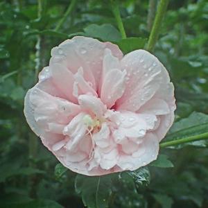 ムクゲの花-2