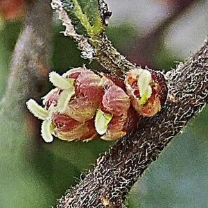 アキニレの花