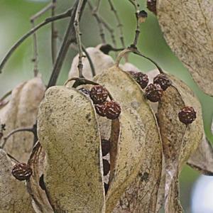 アオギリの種