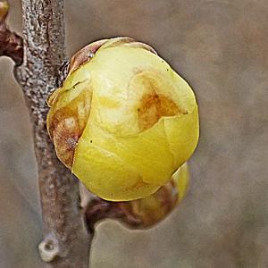 マンゲツロウバイの花
