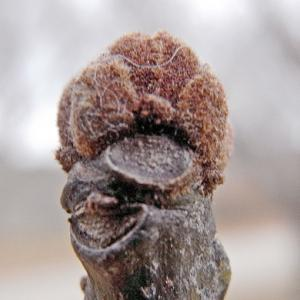アオギリの冬芽