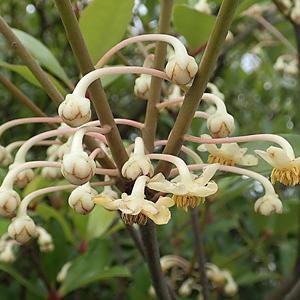 モッコクの花