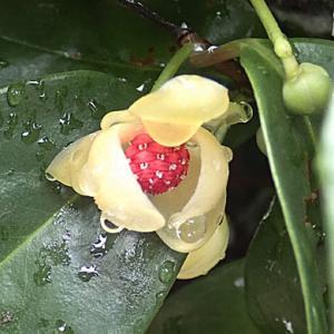 サネカズラの花
