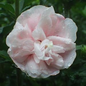 八重のムクゲの花