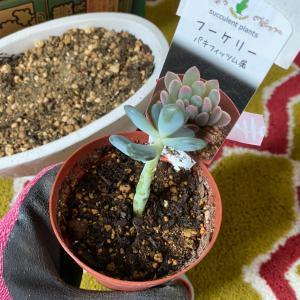 ダイソー観葉植物まとめ買い!と春の植え替え