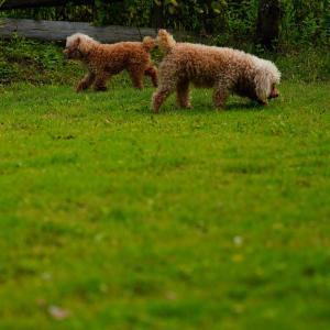 Poodles in Garden!