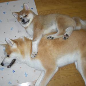 秋田犬の伊吹と富士!