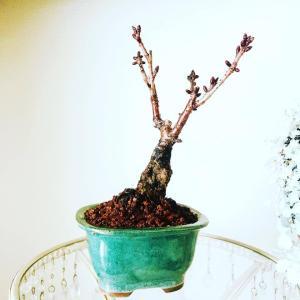 1DAYレッスン 春を感じる~桜の苔盆栽