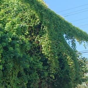 緑のカーテン・・・ Σ(-∀-;)