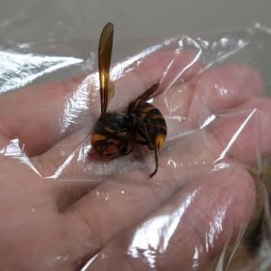 オオスズメバチの標本と乾燥ボックスについて☆