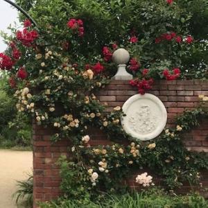 びわ湖のほとりの薔薇園へ・新入荷の薔薇のかんざし。
