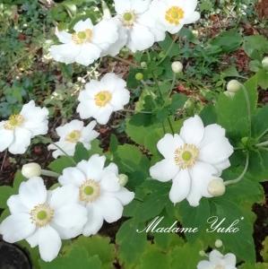 ◆白い秋明菊