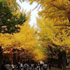 ◆北大のイチョウ並木と紅葉
