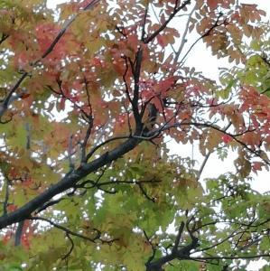 ◆ナナカマドの葉が色づき始めました…