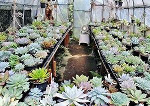 水遣り後のエケベリアと実生鉢上げ苗