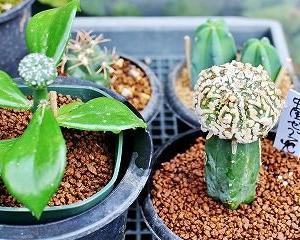 頂き物の兜達と関連種と実生アンボボン植替
