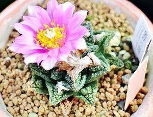 ヒントニーHyb開花とロゼオ牡丹たち