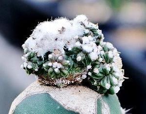 花篭接ぎ苗とアズテキュウム属ほか。