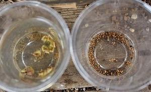 コノフィの収穫はもうちょいとマミラリア・金洋丸ほか