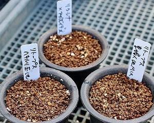笹蟹オベサとバリダ、アガベ実生植替など