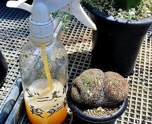 チェリークィーン葉挿しとアストロ接ぎ苗植替えなど・・