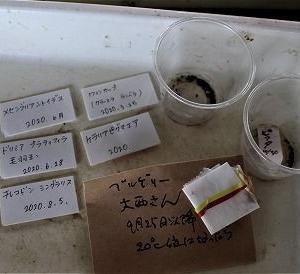 秋蒔き多肉とダドレア・グリーニー植替