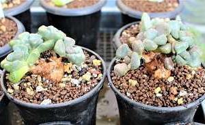 アロイノプシス・唐扇植替と短毛白星の花
