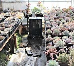 エケハウスに一斉潅水とギムノ・天平丸交配種たち
