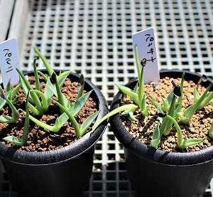 アガベ実生苗植替えとアズテキュウム・紅籠