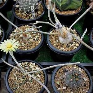 メデューサに花と胴切りサボなどの再生その後