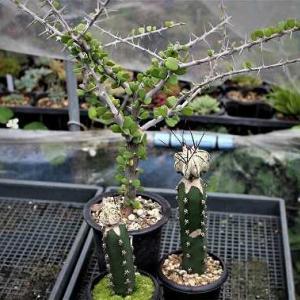 スーパークラシスピヌムとコピ交配種とアリゾニカ