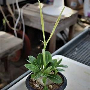 エビス大黒種蒔きとパキポ接ぎ木その後とユーフォ接ぎ苗