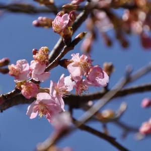 我が家の河津桜が咲き始めた♪