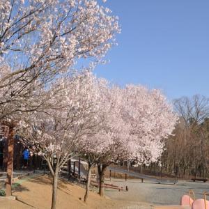 桂川ウェルネスパークの桜と、スマホを壊してしまったこと。(泣)