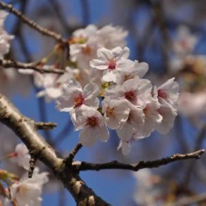 市営グランドの桜~大月市②