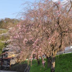 厄王山の桜~大月市