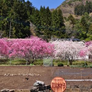 「大月エコの里」のハナモモ・しだれ桜・富士山~大月市①
