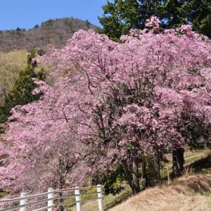 この時期、まだ桜がきれいに咲いていた♪~大月市鳥沢①