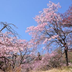 この時期、まだ桜がきれいに咲いていた♪~大月市鳥沢②