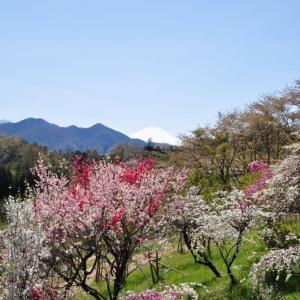ハナモモと富士山~上野原市②