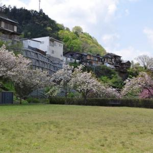 猿橋公園の御衣黄桜と八重桜~大月市②